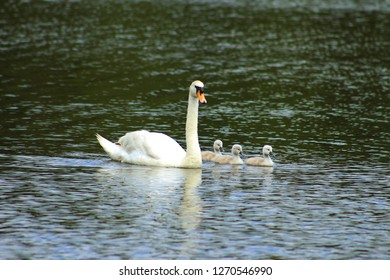 Swan and her cygnets on a lake
