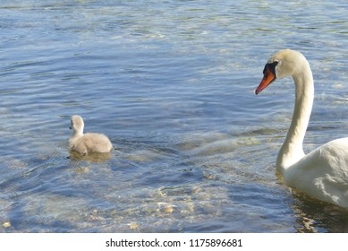 a swan with his child