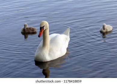 a swan with his children