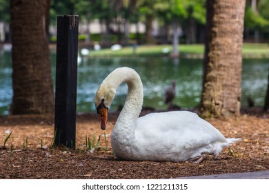 Swan of the Lake