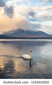 Swan at Lake Yamanaka in the morning with cloudy view of mt. Fuji, Japan