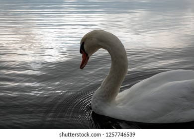Swan at Lake Yamanakako, Yamanakako Village, Yamanashi Prefecture, Japan.