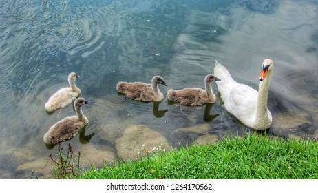 Swan leading it's cygnets in Otočec pond