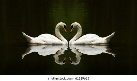 swan love reflection over a beautiful lake