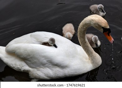 Swan mother with its baby on the back, West Vancouver, BC, Canada
