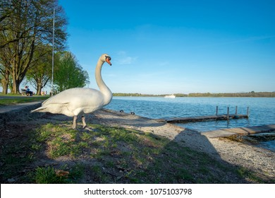 Swan on the beach of Chiemsee