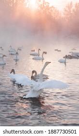 swan is on the beautiful winter lake on the sunset. Svetloe ozero, Altai - Shutterstock ID 1887730501