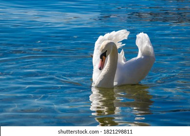 swan on blue lake water in sunny day, swans on pond.