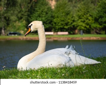 Swan on the grass near the lake.