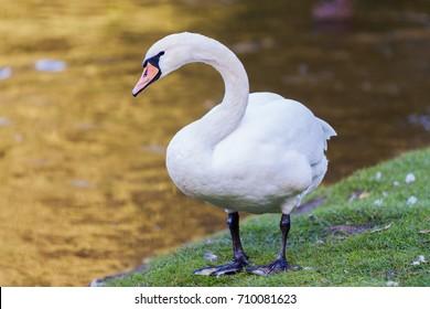 Swan on the lake coast