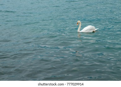 A swan on Lake Garda. A sailboat and a swan. Italy.