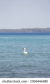Swan on Lake Michigan