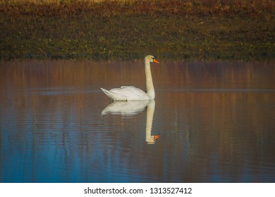 Swan on lake with reflection
