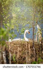 swan on its nest in breeding season