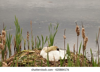 swan on nest with green leaves
