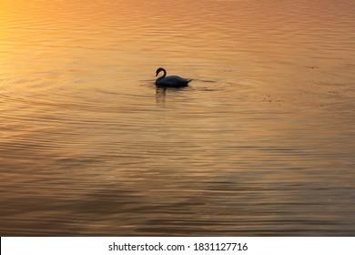 Swan on a peaceful, calm lake at sunset. Orange reflections and bird silhouette for background.