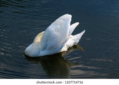 Swan on river, preening.