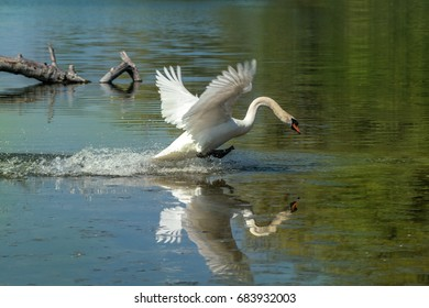 Swan on the run