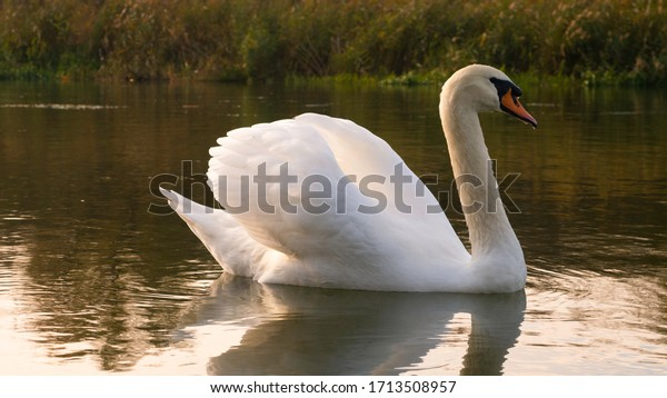 Swan on the water at golden sunset.