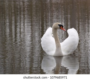 swan on the water, South Bohemia, Czech Republic
