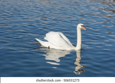 Swan on the waters of the upper Zurich Lake (Obersee), Switzerland