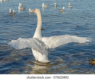 Swan on a winter sea spreading its wings