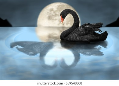 Swan with only reflection of the missing special one