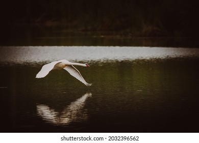 Swan overflying pond in Romania