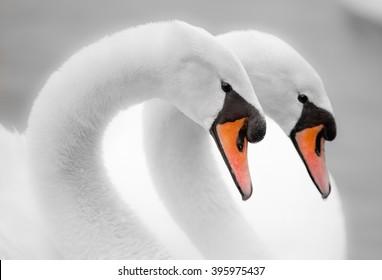 Swan pair soft romantic image