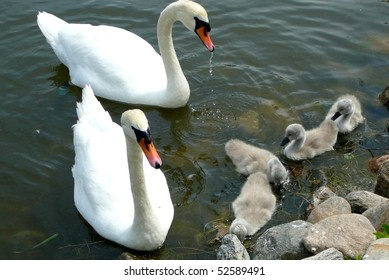 Swan Parents with Cygnets