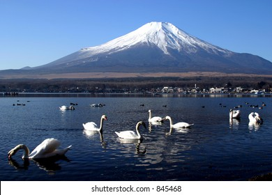 A swan party in front of Mount Fuji