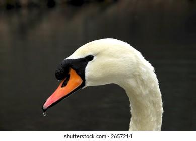 swan-portrait-260nw-2657214.jpg