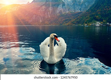 Swan portrait. Mute swan (Cygnus olor) gliding Lake Hallstatt Austria in sunrise morning light. Amazing morning scene, misty morning. Beautiful swan on austian alps lake in morning mist. Cold toned