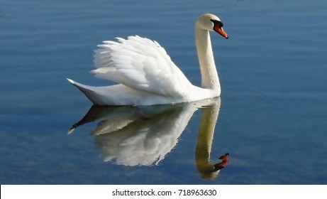 A swan is reflected in the smooth water of a lake