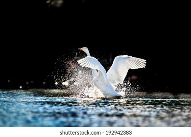 Swan rising from water and splashing silvery water drops