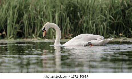 Swan At The River