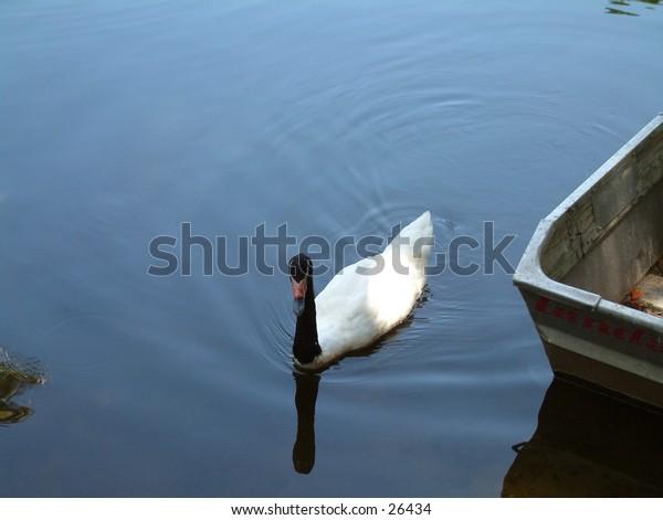 Swan and rowboat