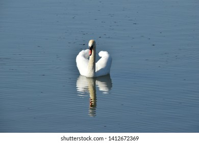 Swan Rutland Water UK England