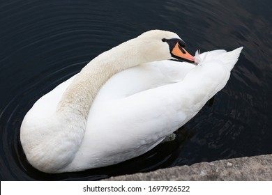 Swan at a sea in Berlin