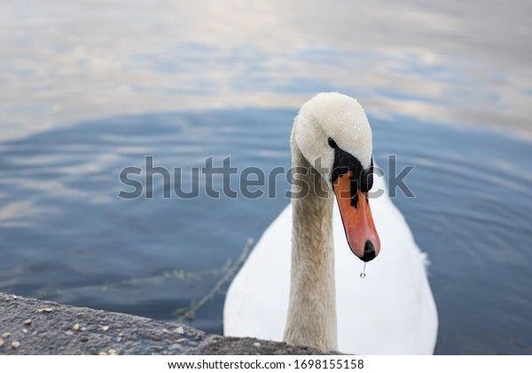 Swan at a sea in Berlin