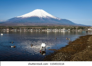 swan at shore look for food to eat at Yamanaka lake with mount Fuji view in morning with clear blue sky, Yamanashi, Japan.