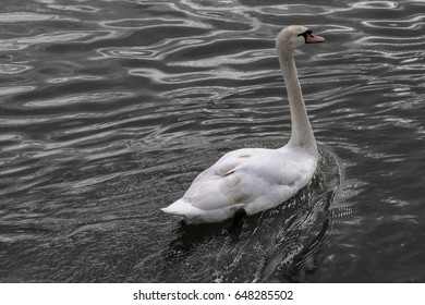 Swan and Silvery Water