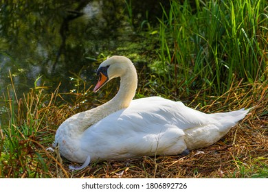 Swan sitting at its nest