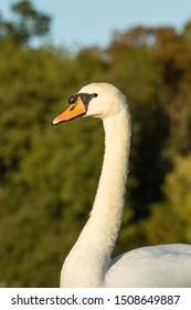 Swan stretching its neck near a forest