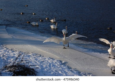 Swan stretching wings on a snowy shore