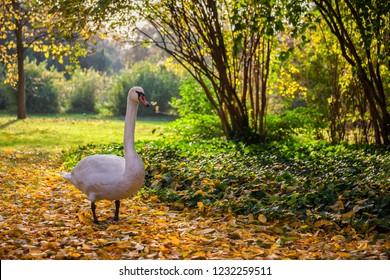 Swan stroll in fallen autumn leaves, tranquil scenery in Lazienki Park in Warsaw, Poland