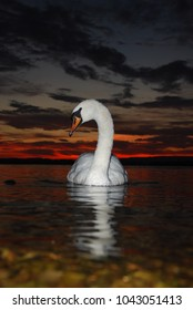 Swan at sunset.Lough Erne,County Fermanagh.Northern Ireland
