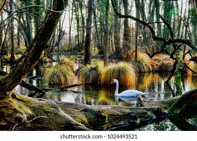 Swan In The Swamps