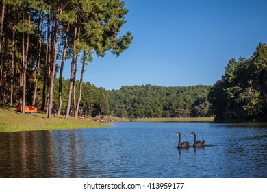 Swan swim gracefully in a reservoir Pang Ung, Mae Hong Son, Thailand.