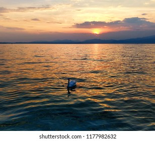A swan swim in the lake at sunset. The water of the lake is orange under the sun. The sky is a bit cloudy.